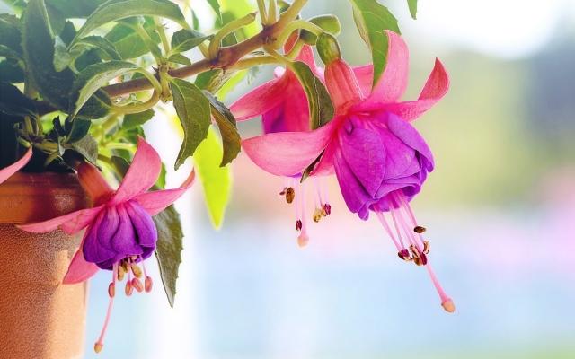 Fuchsia als symbool voor thuis wonen met dementie