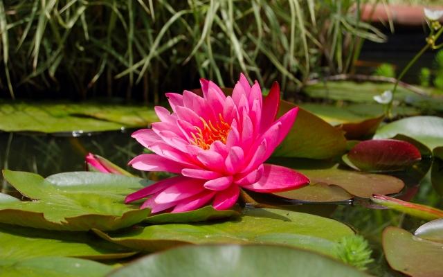 roze lotusbloem als symbool voor rust in zorgen voor moeder met dementie